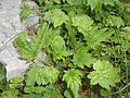Symphyandra armena 2016-04-22 8743.jpg