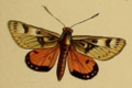 Synemon gratiosa Westwood 1877.png