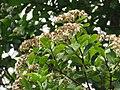 Syzygium caryophyllatum - South Indian Plum at Mayyil (17).jpg