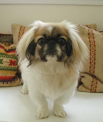 A pekingese puppy, 8 months old