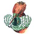 Tête d'Oiseau Mouche Magnifique (Millot-1907).png