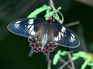Papilio polytes - Crimson rose, compare with form romulus