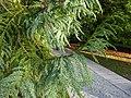 Taiwania cryptomerioides Lucca 03.jpg