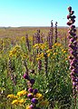Tallgrass prairie flowers (6176383496).jpg