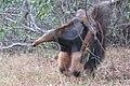 Tamanduá bandeira com filhote nas costas - Myrmecophaga tridactyla 06.jpg