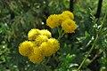 Tanacetum vulgare, 2020-10-04, Beechview, 02.jpg