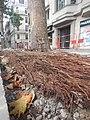 Tapis de racines de platane sous trottoir Platanus root mat under sidewalk Lille northern France 02.jpg