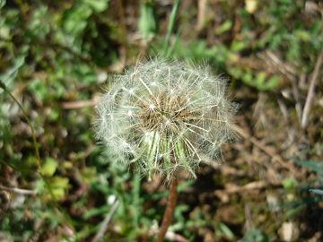 Taraxacum sp. image.JPG