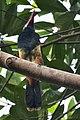 Tawny-tufted Toucanet.jpg
