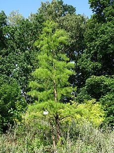 Taxodium ascendens PAN.JPG