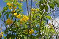 Tecoma Stans (Yellow Elder) (28894234765).jpg