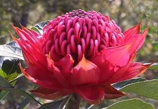 <i>Telopea speciosissima</i> A large shrub in the plant family Proteaceae endemic to New South Wales in Australia