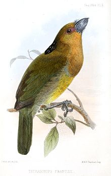 aztekenbartvogel � wikipedia