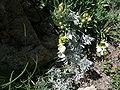 Teucrium montanum2.JPG