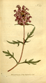 The Botanical Magazine, Plate 337 (Volume 10, 1796).png