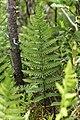 Thelypteris palustris 5498124.jpg