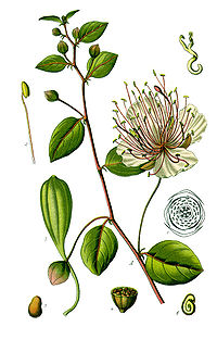 Thomé Capparis spinosa clean.jpg