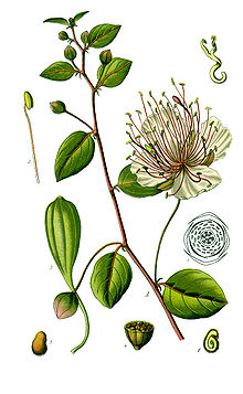 http://upload.wikimedia.org/wikipedia/commons/thumb/3/38/Thom%C3%A9_Capparis_spinosa_clean.jpg/220px-Thom%C3%A9_Capparis_spinosa_clean.jpg