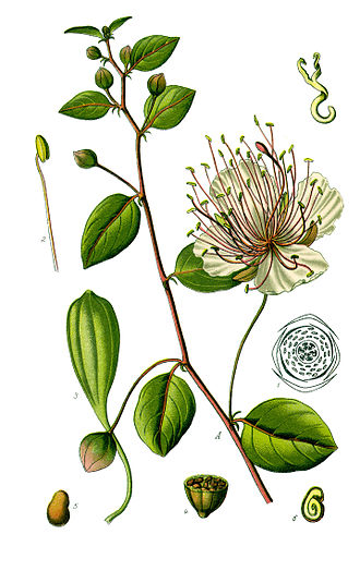 Khosrov Forest State Reserve - Capparis spinosa L.by Otto Wilhelm Thomé