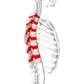 Thoracic vertebrae lateral6.png