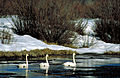 Three Trumpeter Swans swimming in icy water.jpg