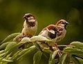 Three male house sparrows.jpg