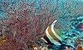 Threeband Pennantfish (Heniochus chrysostomus) (6129973989).jpg