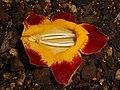 Thunbergia mysorensis 2017-05-31 2481.jpg