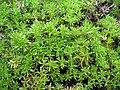 Thymus caespititius (Leafs).jpg