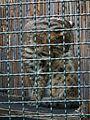 Tiergarten Worms Amurkatze 2011.JPG