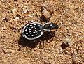 Tiger Beetle. Carabidae. Coleoptera - Flickr - gailhampshire.jpg