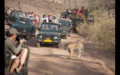 Tiger in Ranthambore Surrounded By Photographers.png