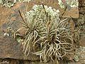 Tillandsia sp. - Flickr - pellaea (2).jpg