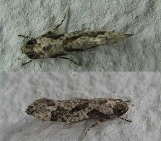 <i>Tiquadra</i> genus of insects