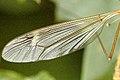 Tipula.fascipennis.wing.detail.jpg