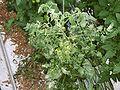 TomatePflanzeCorynebacteriummichiganense.jpg