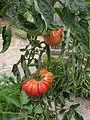 Tomate Omars Lebanese P1020445.JPG
