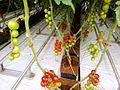 Tomato ARM 13.jpg