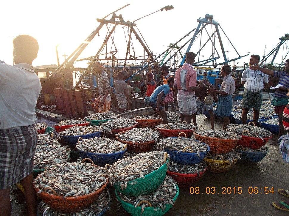 Tonnes of sardines at Rameswaram fishing port in India.