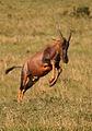 Topi antilope masai mara.jpg