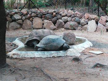 Tortoise - Senior citizen in Nehru Zoological Park, Hyderabad.jpg