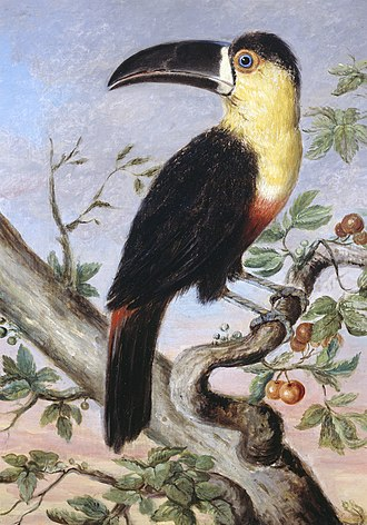 Nicholas Aylward Vigors - Painting, oil on canvas, of a toucan by Vigors, 1831