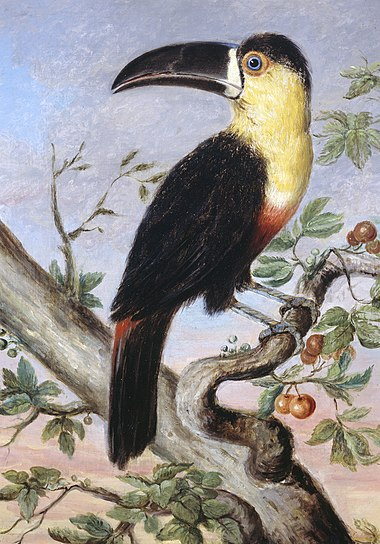 Toucan by Nicholas Aylward Vigors 1831