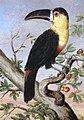 Toucan by Nicholas Aylward Vigors 1831.jpg