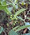 Tournefortia heyneana 04.JPG