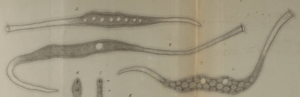 Tracheloraphis - Drawing of Tracheloraphis phoenicopterus by Ferdinand Cohn (1866)