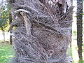 Trachycarpus wagnerianus3.jpg