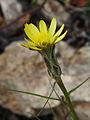 Tragopogon crocifolius 051.JPG