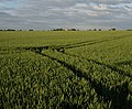 Tramlines in the wheat - geograph.org.uk - 858714.jpg
