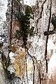 Tree Runner (Plica plica) (38988974971).jpg